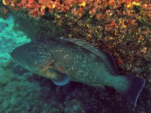 Dusty Grouper